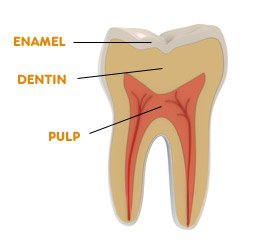 layers of tooth