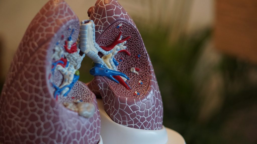 a plastic model of human lungs